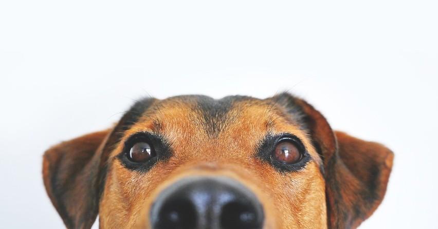 Doskonały zmysł węchu pomaga psom w rozpoznawaniu specyficznej woni świadczącej o tym, że epileptykowi grozi atak padaczki. Zwierzę może uratować życie choremu alarmując o zbliżającym się niebezpieczeństwie.