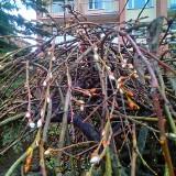 Bazie na Boże Narodzenie 2019 w Łódzkiem. W Łodzi i w Zgierzu drzewa mają już pączki, na łąkach rosną wiosenne kwiaty!