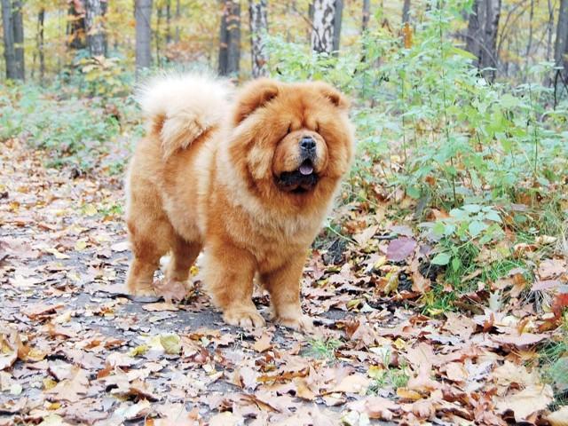 Chow chow jest psem zwartym, harmonijnie zbudowanym, ma wspaniałą dużą głowę otoczoną lwią grzywą. Szata chow chow jest wspaniała: gęsta i puszysta, przyjemna w dotyku ze względu na obfity podszerstek.