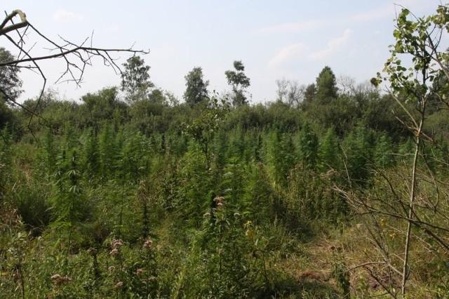 """Znajdowała się ona w jednym z kompleksów leśnych w gminie Grajewo. Policjanci znaleźli tam 520 krzaków konopi o wysokości ponad 2 metrów oraz 2 kg gotowego suszu. - Wartość szacunkowa zabezpieczonego całego nielegalnego """"towaru"""" to około 200 tysięcy złotych - oblicza oficer prasowy KPP w Grajewie."""