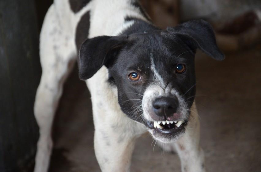 Badania zostały oparte na przypadkach urazów twarzy spowodowanych właśnie przez ugryzienie psa, z którymi zmagali się lekarze z Nationwide Children's Hospital oraz University of Virginia Health System. Kliknij dalej i zobacz, które rasy psów gryzą najczęściej