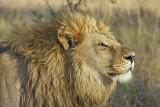 Kobieta weszła na wybieg dla lwa i drażniła króla zwierząt. Cud, że jej nie rozszarpal.