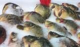 Karp na święta. Jak zabić karpia, aby ryba nie cierpiała. Jak przechowywać rybę, aby dłużej była świeża [WIDEO]