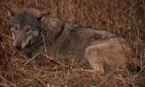 Wilki pojawiły się w powiatach buskim i staszowskim! Na południu regionu widziano je pierwszy raz. Kamera nagrała jak zagryzły psa