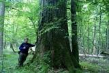Najwyższy dąb szypułkowy rośnie w Białowieskim Parku Narodowym