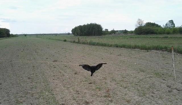 Na polach uprawnych pod Brzezinami wiszą martwe ptaki,