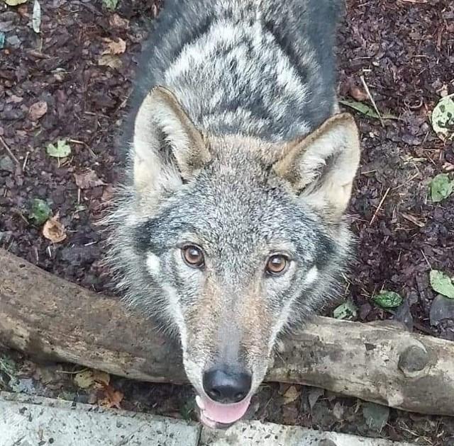 Młody wilk Klincz.