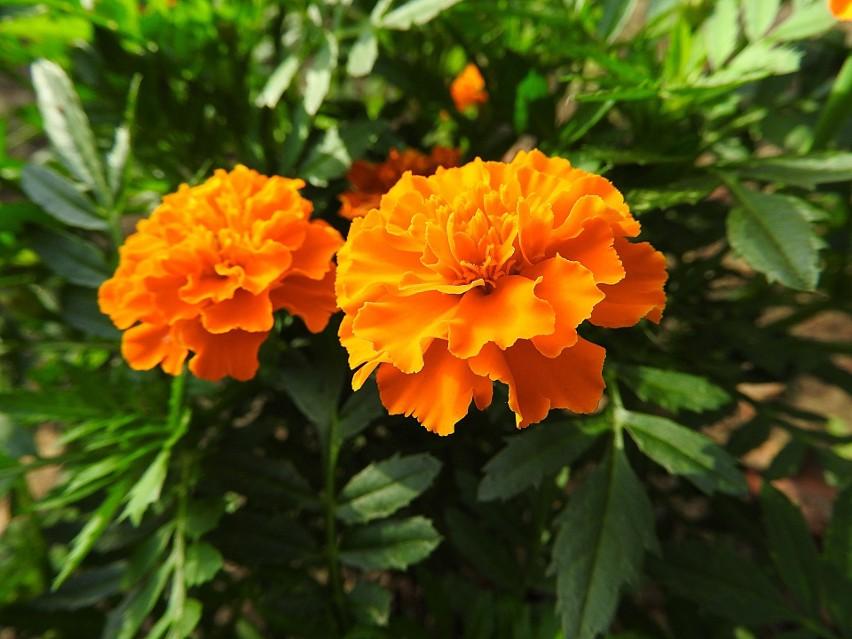 Niektóre odmiany aksamitek mieć nawet metr wysokości (aksamitka wzniesiona). Jednak najbardziej popularne są niższe odmiany – aksamitka rozpierzchła (widoczna na zdjęciu) i wąskolistna. Kliknij w zdjęcie i zobacz resztę zdjęć pięknych kwiatów.