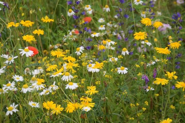 Kwietna łąka antysmogowa w Tychach na Sublach Zobacz kolejne zdjęcia. Przesuwaj zdjęcia w prawo - naciśnij strzałkę lub przycisk NASTĘPNE