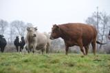 """""""Piątka dla zwierząt"""" do poprawki. PiS obiecuje rolnikom odszkodowania"""