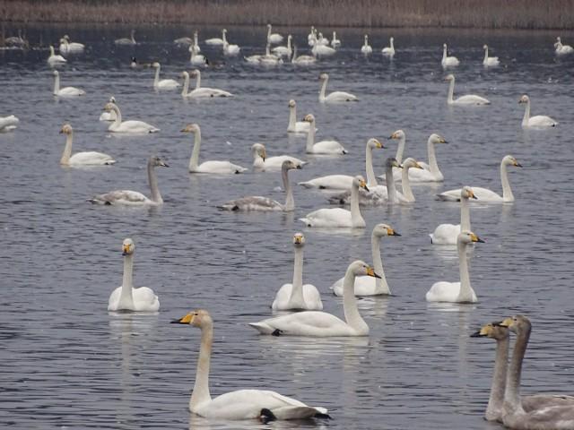 Łabędzie krzykliwe na jeziorze Krzynia.