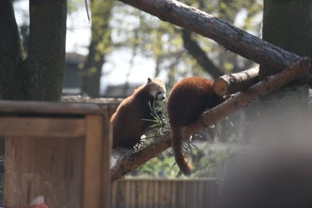 Do toruńskiego Ogrodu Zoobotanicznego przybyli wreszcie długo oczekiwani goście – pandy małe. Są to bracia urodzeni w czeskim ogrodzie zoologicznym w Jihlavie.