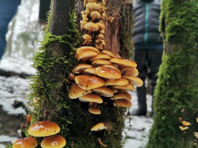 Takie cuda w lesie. Styczniowe grzybobranie.
