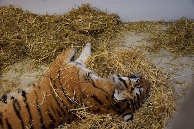 Uratowane tygrysy mają mnóstwo ran, pozrywane pazury, są na skraju wycieńczenia.