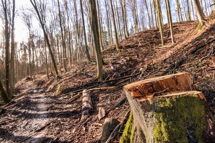 Wycinka drzew w Trójmiejskim Parku Krajobrazowym niepokoi...