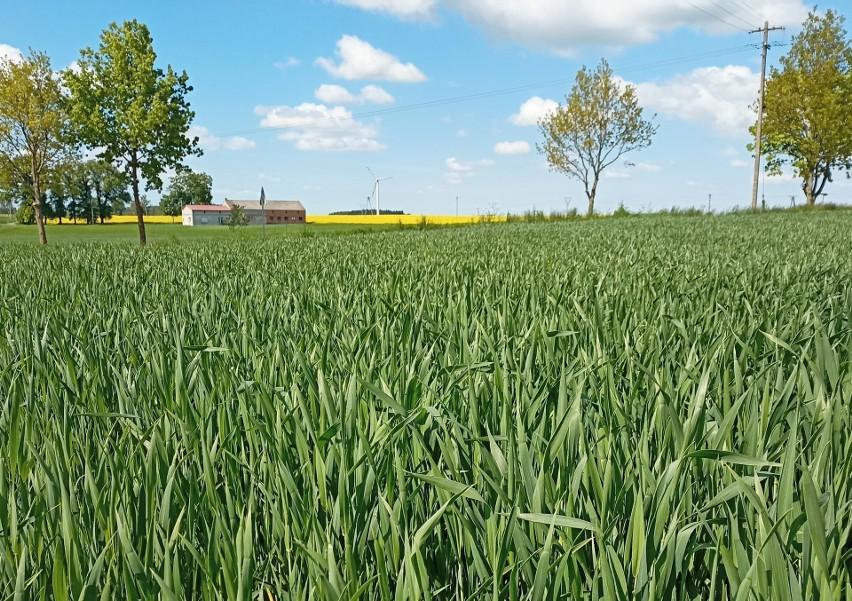 GUS opublikował Wiosenną ocenę stanu upraw rolnych i...