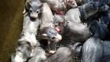 Wygaszone ognisko koronawirusa na farmie norek. Wszystkie zwierzęta zostały uśpione. Trwają kontrole w kolejnych hodowlach