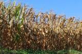 Błędnie opracowana aplikacja do wyliczania strat po suszy. Takie obawy ma samorząd rolniczy