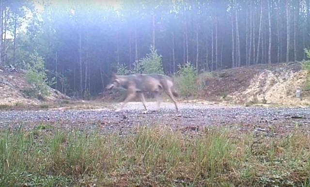 Wilk sfotografowany koło Łagowa