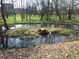 Po wycince drzew w zamkowym parku w Międzyrzeczu jest po prostu jakoś tak… ,,łyso''