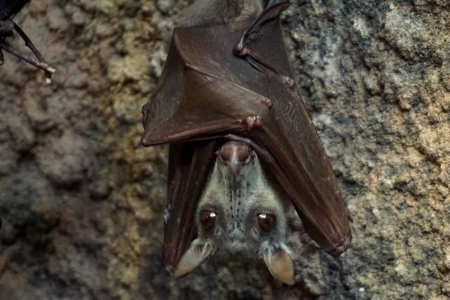 W Afrykarium zamieszkał nowy gatunek nietoperza zwany też latającym łosiem