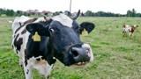 Ceny mleka spadają, ale i tak są wyższe niż wynosi średnia z ostatnich pięciu lat