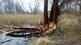 Przez bobry trzeba było wyciąć cztery drzewa w Sobieszewie [wideo,zdjęcia]