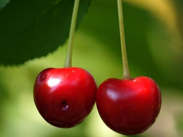 Praca przy zrywaniu owoców zaczyna się o siódmej i trwa do szesnastej