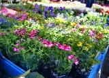 Na targowisku Korej znajdziemy piękne kwiaty na balkon i do ogrodu