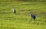 To już wiosna. Pod Zieloną Górą słychać krzyk żurawi. Zobacz wideo i zdjęcia żurawiej pary