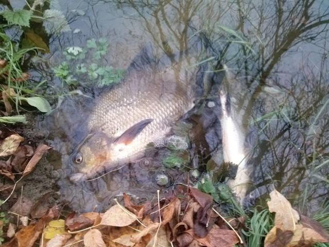 Katastrofa ekologiczna w Warcie. Nie wolno jeść śniętych ryb!