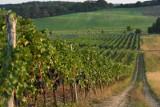 W Polsce produkuje się coraz więcej wina, wzrost jest 35-krotny w ciągu 11 lat, przybywa winnic