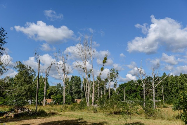 Na działce na terenie Sopotu otruto 41 drzew. Sprawcy dotąd nie ustalono