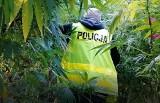 """Policja namierzyła niezwykły """"las"""". Krzaki marihuany były wielkie jak drzewa!"""