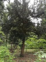 Cis pospolity ma obwód 93 cm w pierśnicy, wysokość 10 m, a jego wiek szacuje się na ponad 100 lat. To nowy pomnik przyrody