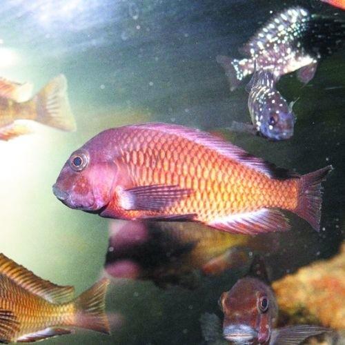 W 26 akwariach można zobaczyć egzotyczne ryby z całego świata, m.in. żarłoczne piranie z Ameryki Płd. (po lewej)