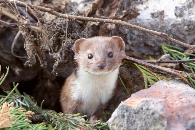 """Kwiecień - ŁASICA (Mustela nivalis)Jest niewielkim drapieżnym ssakiem (do 28 cm długości), zwanym potocznie """"łaską"""". Zamieszkuje skraje lasów, łąki i pola w całej Polsce. Jest nieliczna i objęta ścisłą ochroną. Z powodu swojej aktywności w dzień i w nocy, czasem pada ofiarą drapieżnych ptaków. Jej podstawowym pokarmem są drobne zwierzęta, przeważnie myszy, które łowi w norach. Zdjęcie zostało wykonane na pograniczu gmin Dobrodzień–Ciasna. Łasica na ułamek sekundy opuściła swoją norkę, aby zostać uwiecznioną na matrycy aparatu fotograficznego."""
