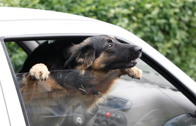 Zwierzę zamknięte w rozgrzanym samochodzie. Co możemy zrobić?