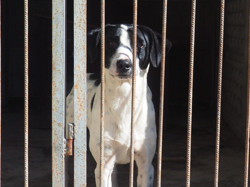 W ostatnich tygodniach do schroniska w Hajnówce trafiły dwa psy, rudy Żurek i łaciatek Dolar.