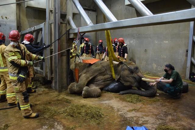 W próbach postawienia na nogi słonicy wzięło udział m.in. 22 strażaków. Niestety, Lindy nie udało się uratować. Zobacz więcej zdjęć --->