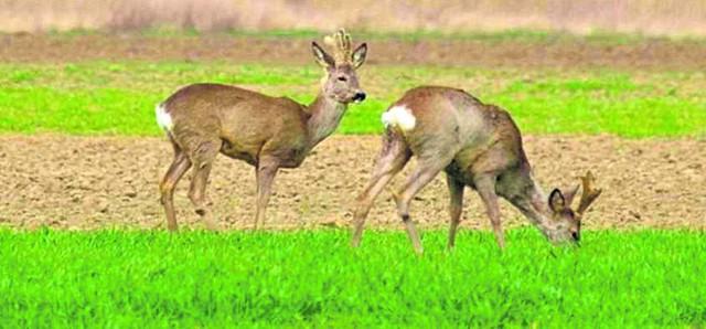 Rolnicy mają pretensje do łowczych, że nie doszacowują szkód, wyrządzanych przez leśną zwierzynę na ich polach oraz nie dokonują wystarczającego odstrzału dzików.