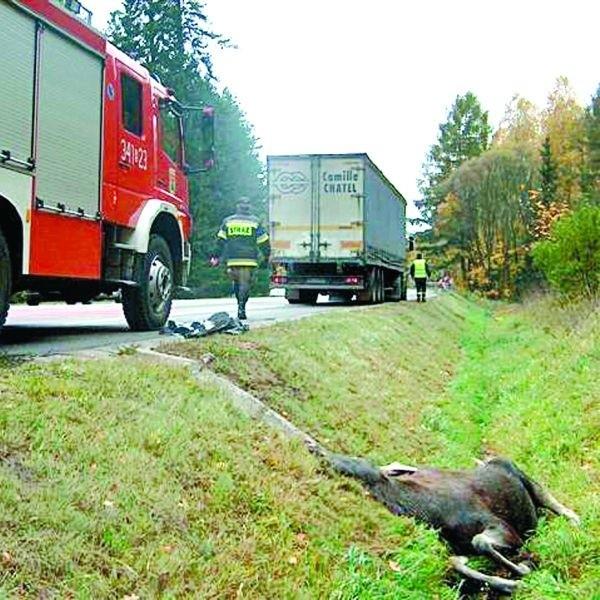 Ważące około 200 kilogramów zwierzę wybiegło z Lasu Szwajcarskiego, przebiegło przez jeden pas ruchliwej jezdni i na kolejnym doszło do zderzenia