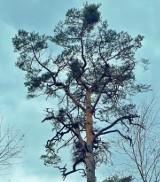 Apokalipsa ma kolor zielony - istnienie polskich borów zagrożone. Przez jemiołę