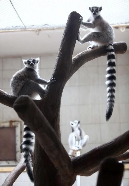 Lemury są zwinne, gibkie, ruchliwe. Z łatwością wspinają się i skaczą.