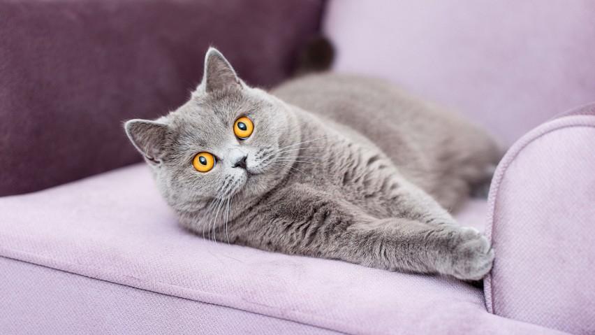 Najpopularniejsze rasy kotów domowych w Polsce. Jaka rasa najbardziej do ciebie pasuje?