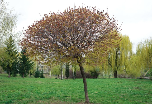 Klon pospolity odmiany Globosum wyróżnia się gęstą koroną o średnicy do nawet 6 metrów