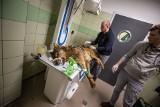 Miesiąc temu cudem uniknął śmierci. Wilk z Machowej wraca do zdrowia!