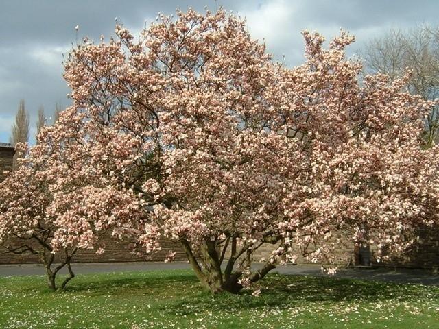 Magnolie najpiękniej prezentują się sadzone pojedynczo, w eksponowanych miejscach.