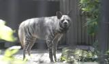 Skąd się wzięły szakal i hiena hasające po Zgierzu?