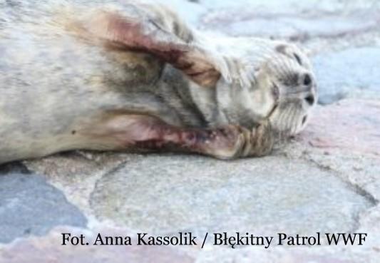 Młode foki coraz częściej odwiedzają Gdynię. Wolontariusze Błękitnego Patrolu apelują, aby ich nie niepokoić